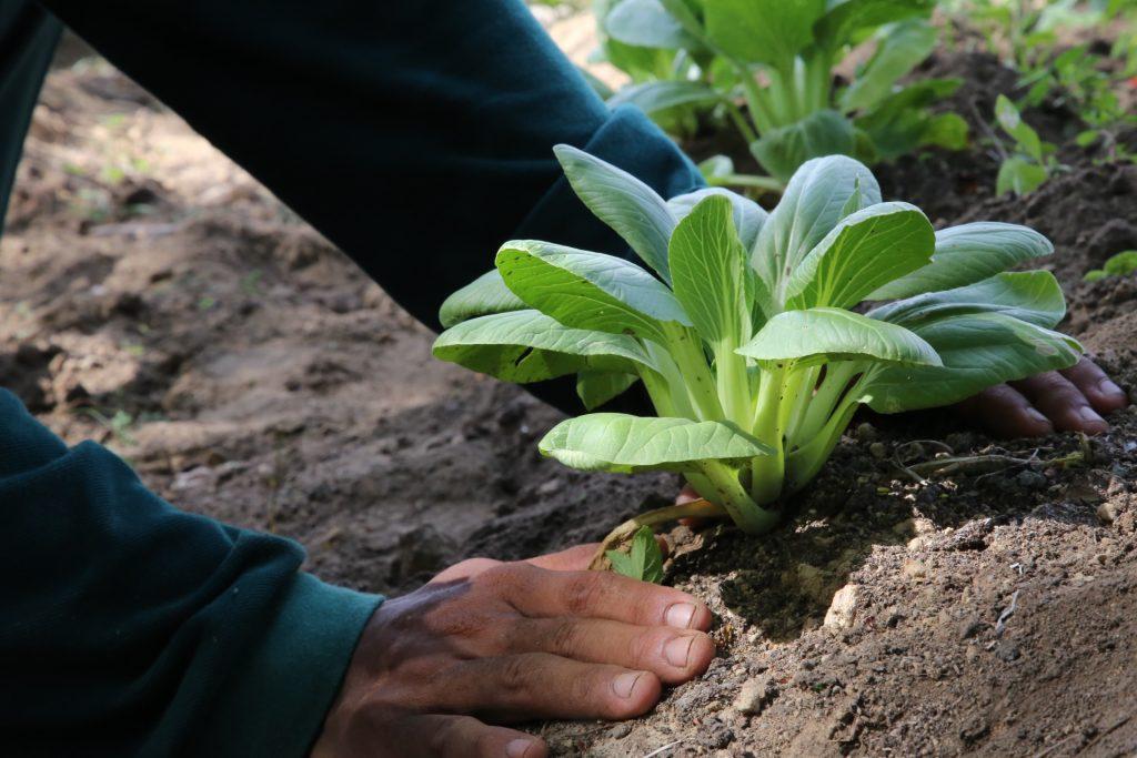 Planting Bok Choy at Padma Resort Legian